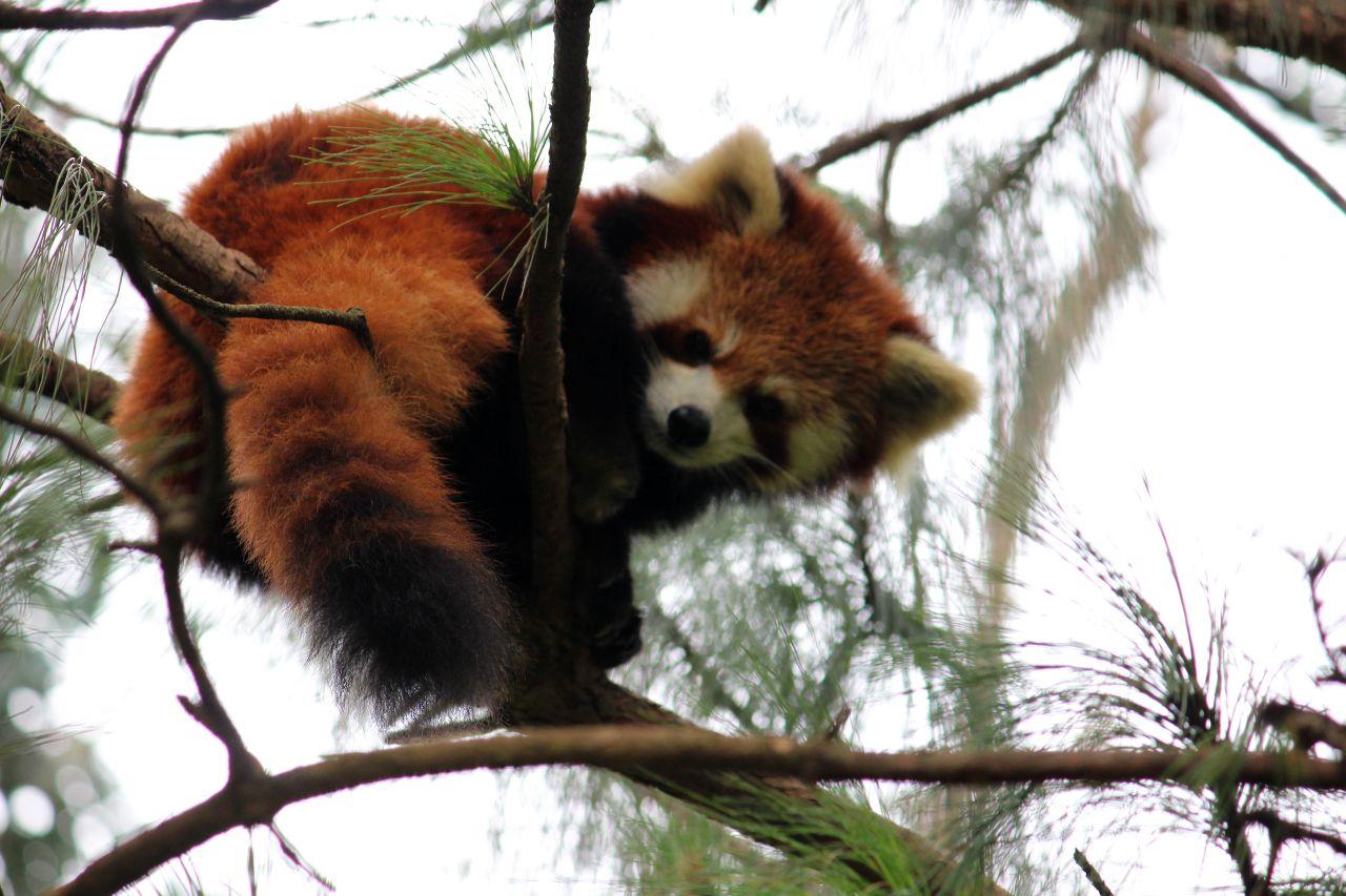 red panda wild mukesh thakur