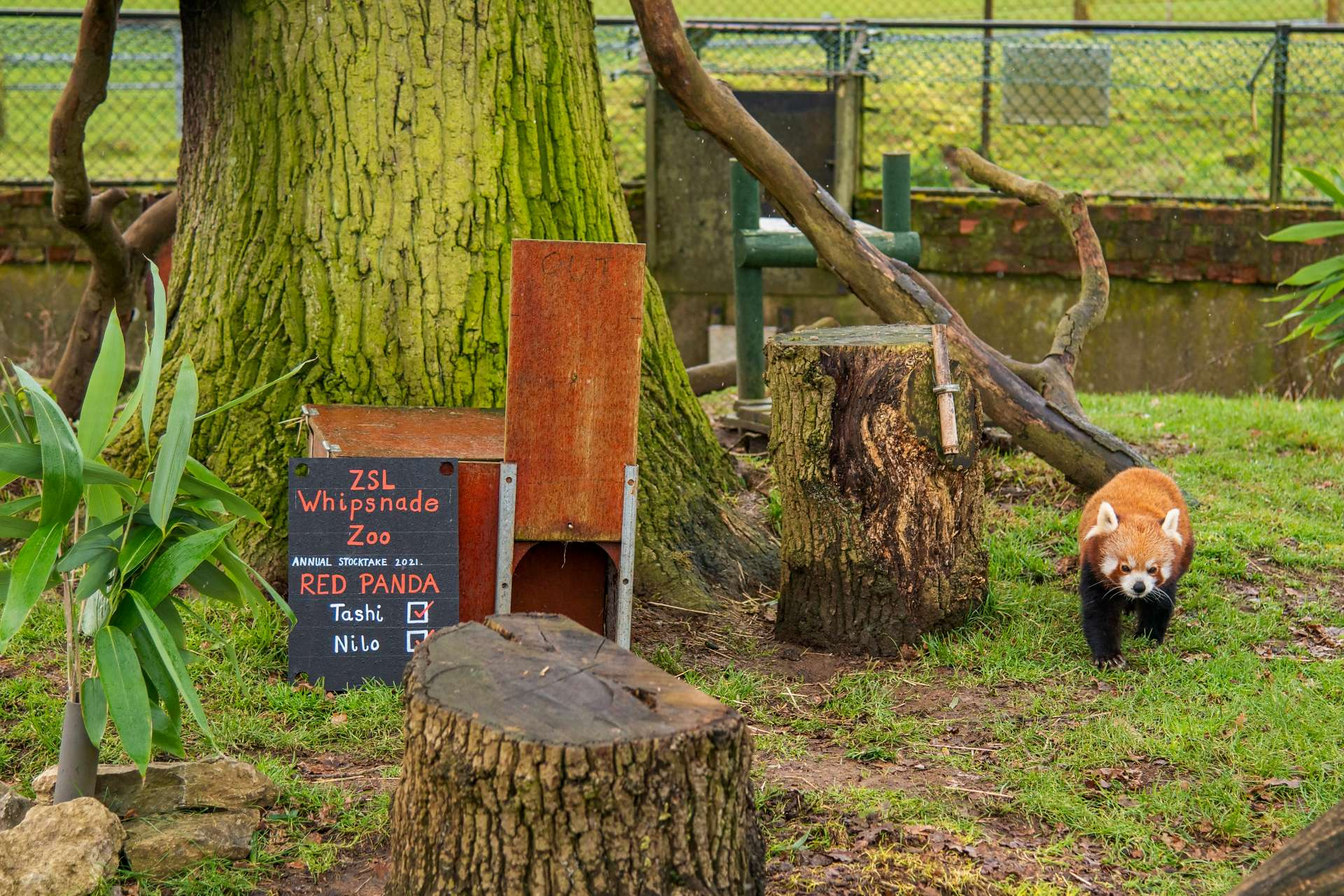 ashi Nilo Red Pandas ZSL Whipsnade Zoo - Annual Stocktake