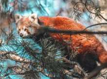 roter panda red panda zoo zürich