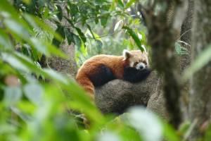 red panda india