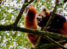 red panda tree textbook nepal