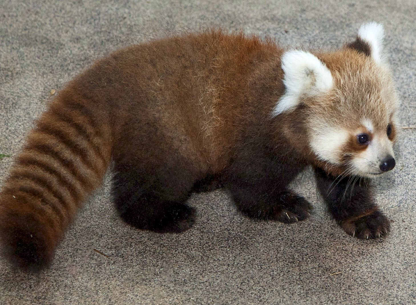 red panda baby national zoo
