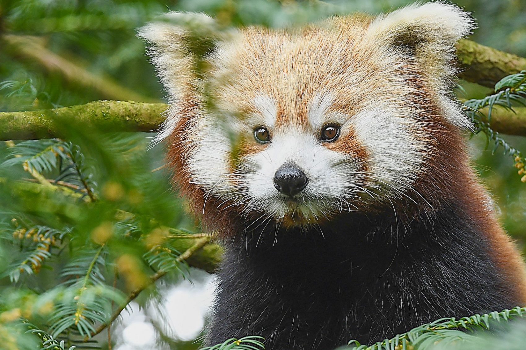 roter panda zayah görlitz