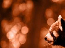 red panda roter panda darjeeling