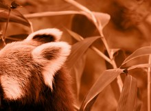 red panda roter panda photo