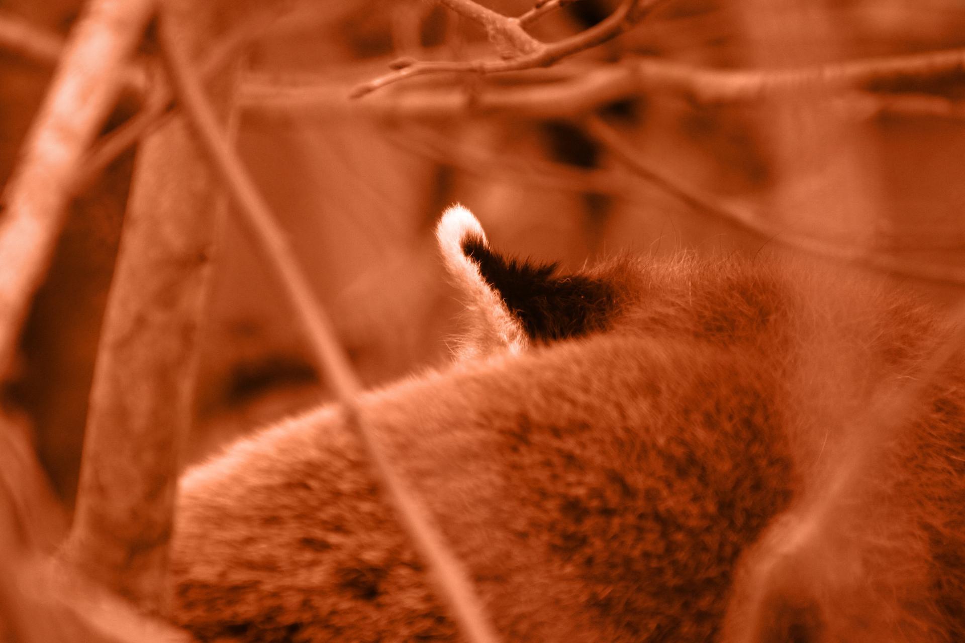 Red panda fur