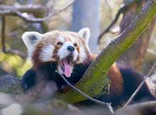 roter panda video 4k
