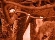 rote pandas sujet