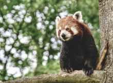 roter panda Baum