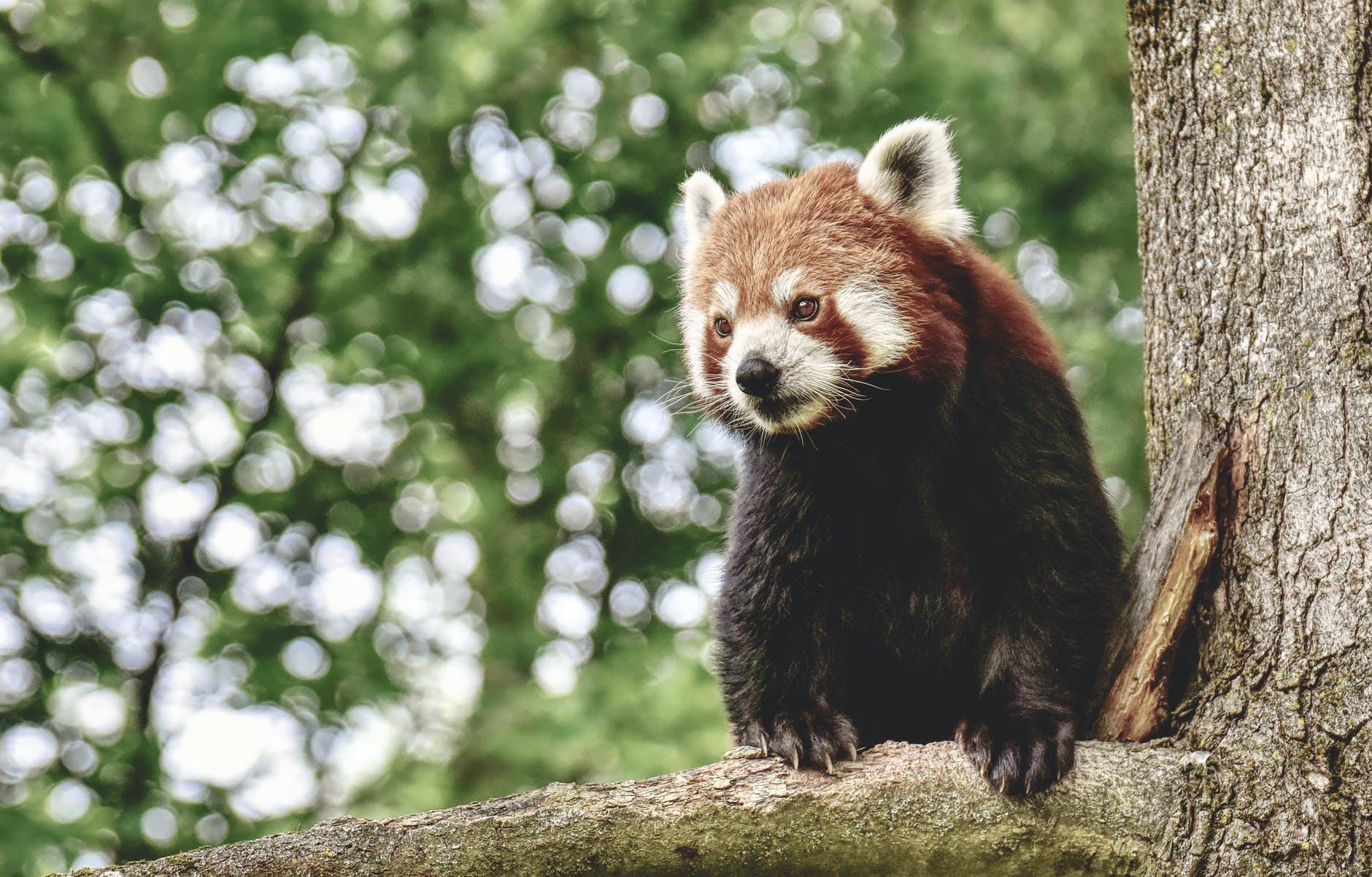 ein roter panda auf einem baum