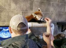 red panda maliha gets a ultrasonic