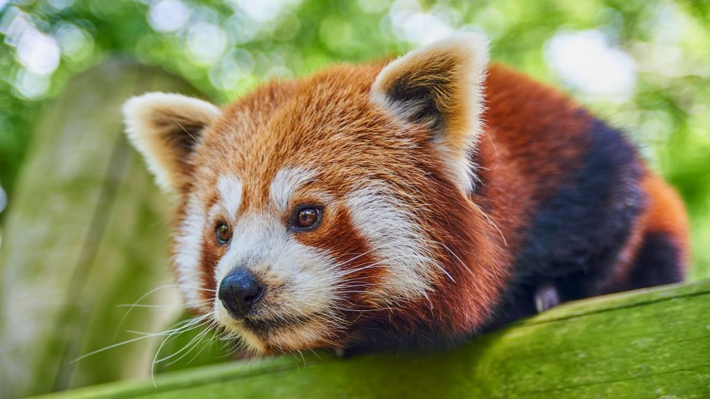 red panda mulan drusillas park
