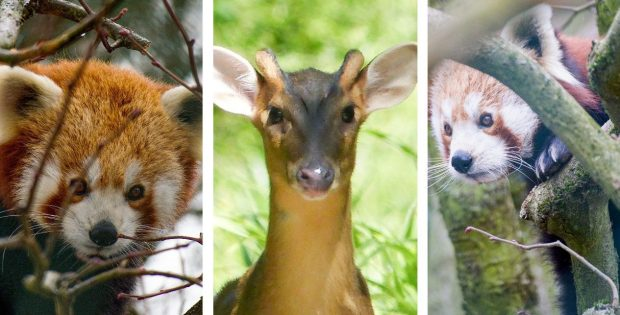 photos of red pandas and a muntjac