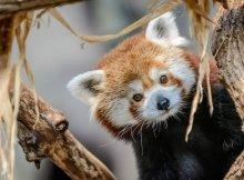red panda min