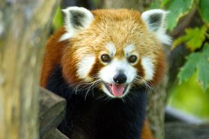 smiling red panda on a tree