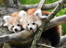 rote panda zwillinge im opel zoo - foto: Archiv Opel-Zoo