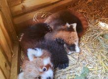 red pandas at blackpool zoo