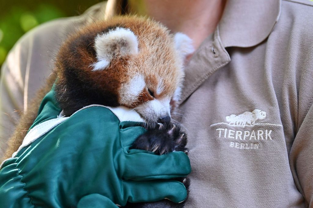 Roter Panda Jungtier im Tierpark Berlin