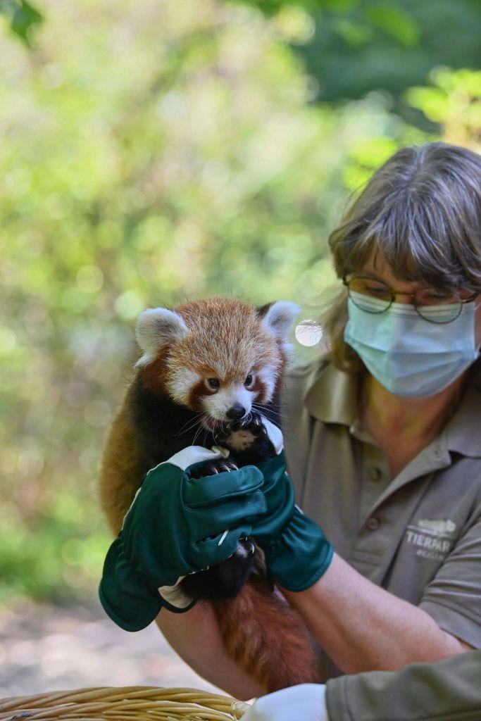 Eine Tierpflegerin des Tierparks Berlin hält das Rote Panda Jungtier